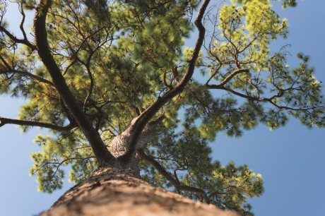 Pinus taeda seen from below
